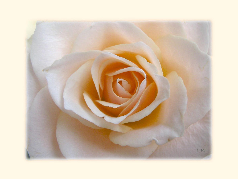 Fanny's Rose