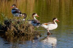 Fanta Four Ducks