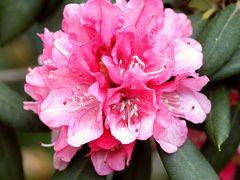 Fantaisie Rhododendron