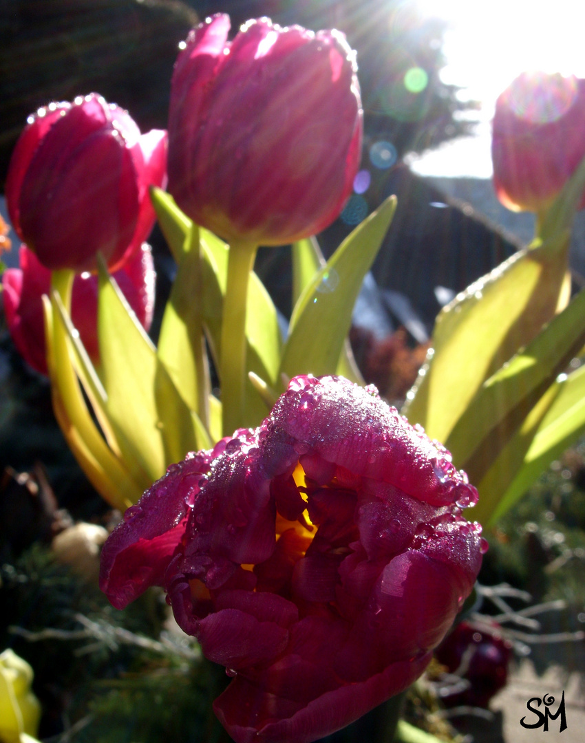 fantastic impression of pink tulips