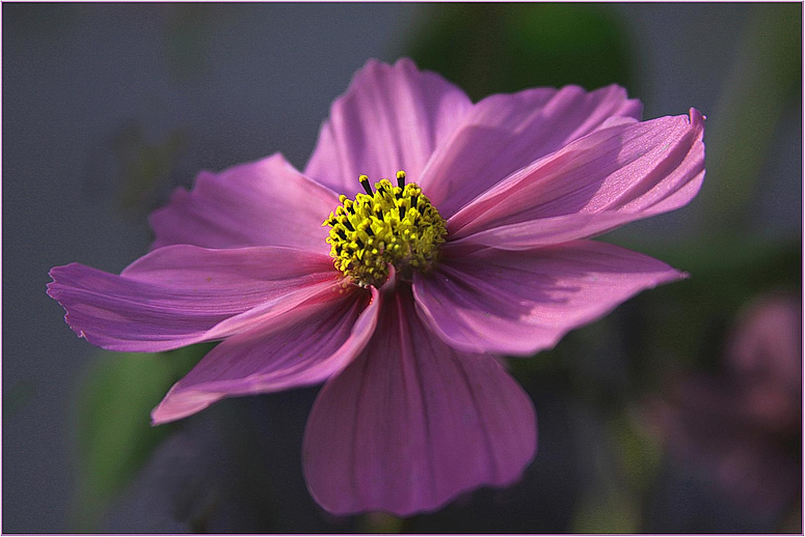 Farbe  lila  aus     dem  Sommer