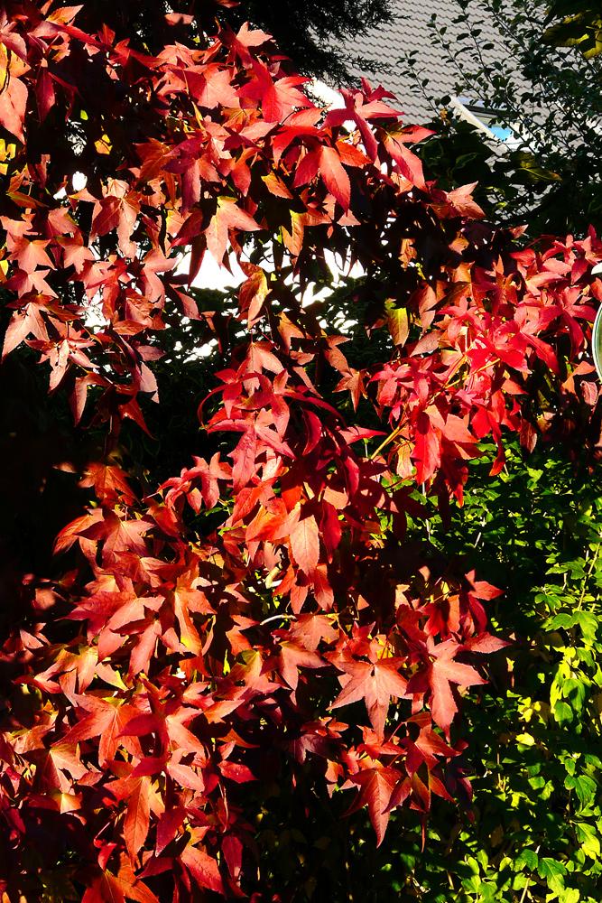 Farben des Herbstes - der Amberbaum in seiner schönsten Farbe
