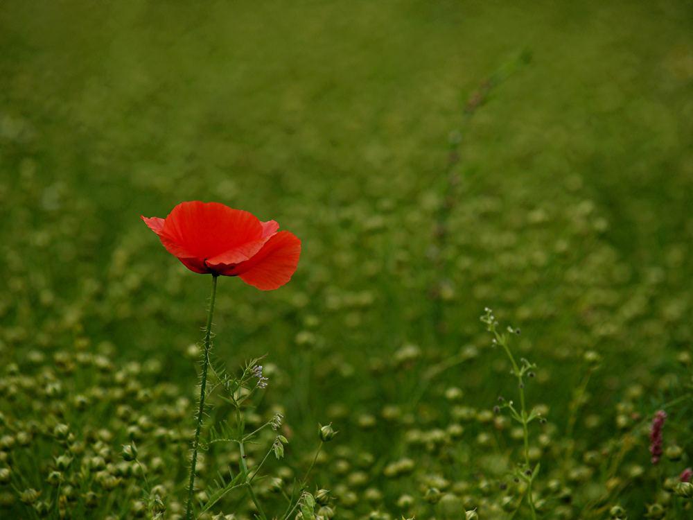 Farben des Sommers (2): Roter Mohn im Grünen