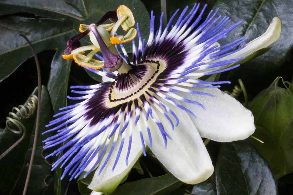 Farben des Sommers - Die Passionsblume