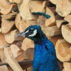 farbenblau Pfau vor Holz