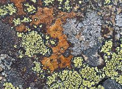 Farbenfrohe Flechtengemeinschaft. - Une oeuvre artistique faite par les lichens...