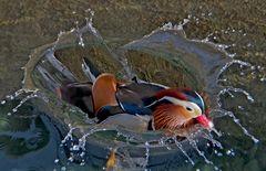Farbenfrohe Mandarinente (Aix galericulata) - Canard mandarin.