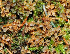 Farbenfrohes Moos im Winter... - La mousse dans la forêt en hiver...