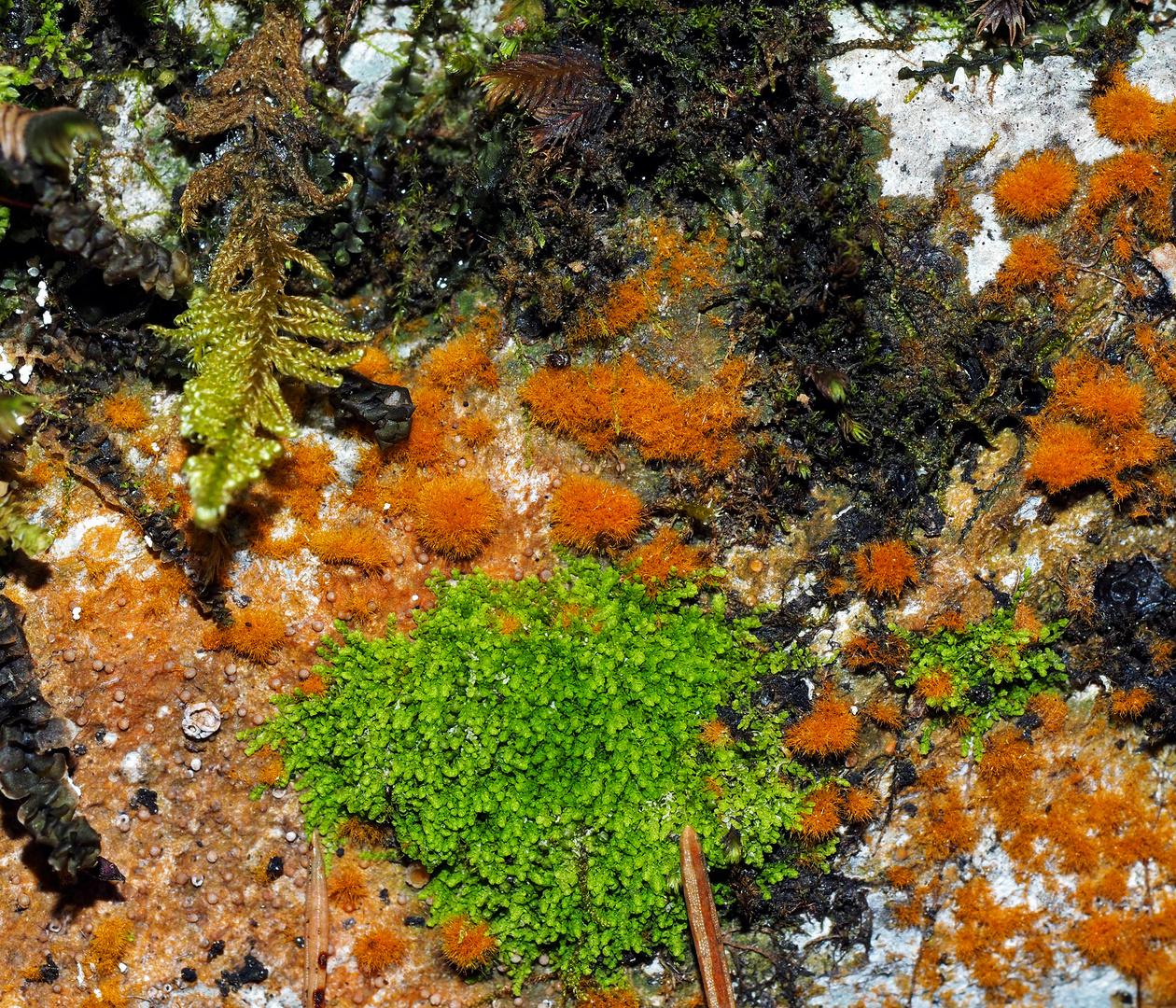 Farbenpracht auf uraltem Felsbrocken im Wald, Moose, Flechten und Algen! *