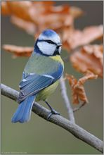farbenprächtig... Blaumeise *Cyanistes caeruleus*