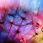 Farbenrausch der Pusteblume