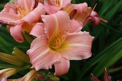 Farbenvielfältigkeit im Lilienbeet