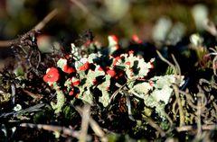 Farbklecks in der Heide von der Insel Hiddensee