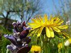 Farbkontraste - lila und gelb