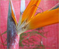 Farbstudie- Orange und Pink (Strelizie)