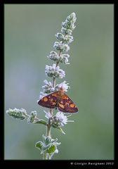 Farfalla 11