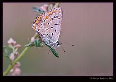 Farfalla 15