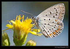 Farfalla 16