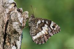 Farfalla #17