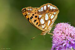 Farfalla #19