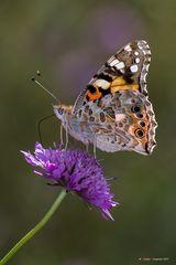 Farfalla #21