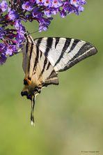 Farfalla #22