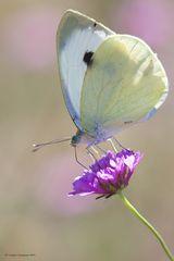 Farfalla #23