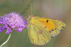Farfalla #26 (Colias hyale - Farfalla del fieno)