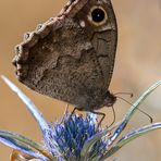 Farfalla #45 (Hipparchia statilinus)