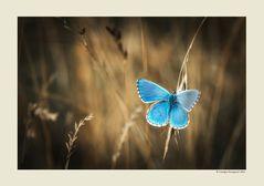 Farfalla #49