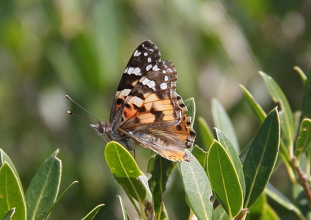 Farfalla 5/2009