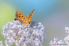 Farfalla #54