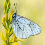 Farfalla #56