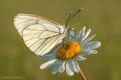 Farfalla #58
