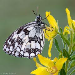 Farfalla #59