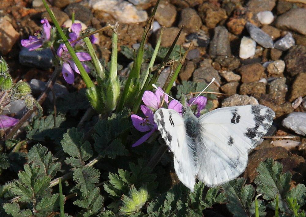 Farfalla 6/2009