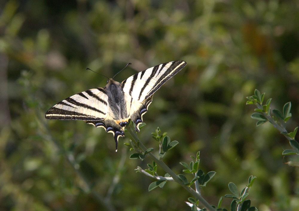 Farfalla 7/2009