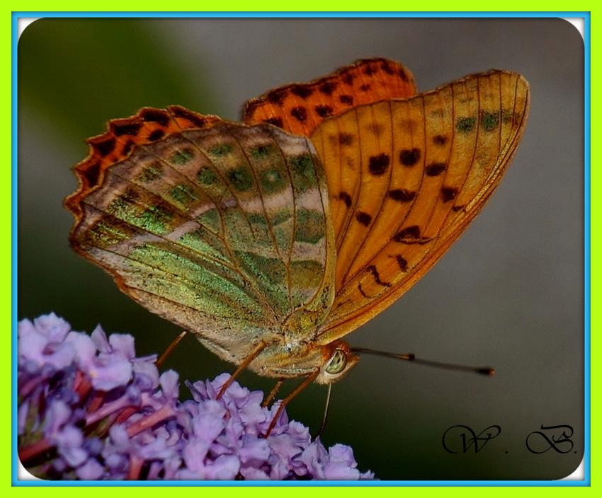 farfalla a pranzo