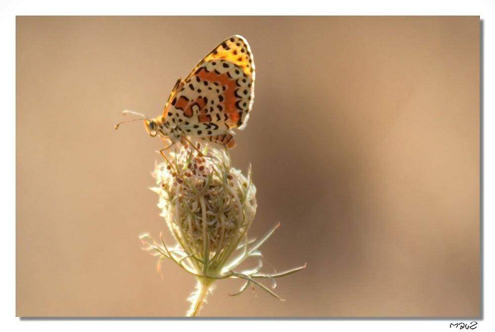 .. Farfalla...