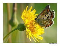 Farfalla in giallo