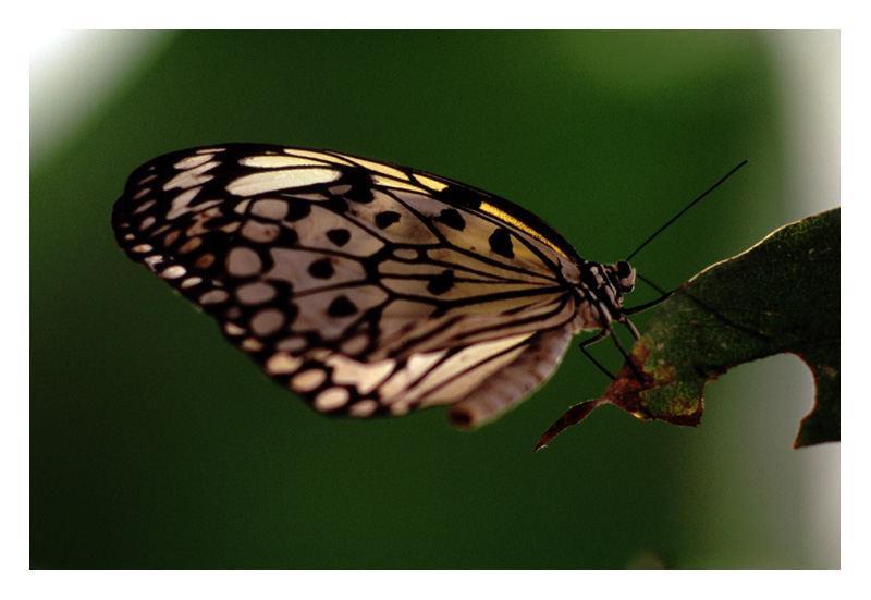 Farfalla in penombra
