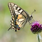 Farfalla Macaone (Papilio machaon) - 3