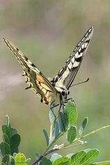 Farfalla Macaone (Papilio machaon) - 4