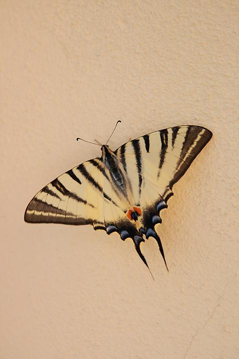 Farfalla Mattutina