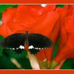 """Farfalla n.3 di 5     """"Soirée"""""""