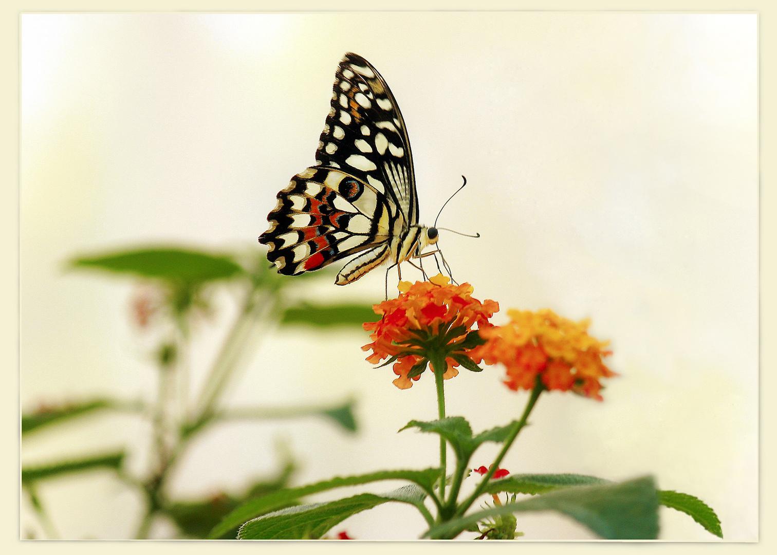 """Farfalla n.5 di 5 """"Haute Couture"""""""