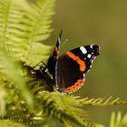 Farfalla nel Parco Nazionale dello Stelvio