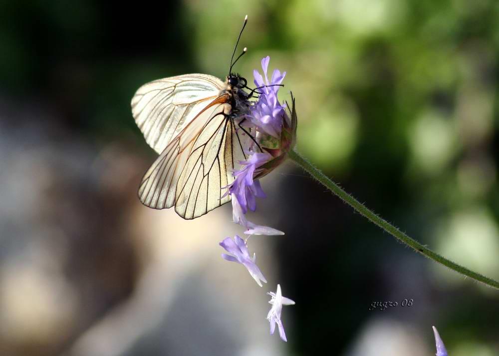 farfalla ...perlata