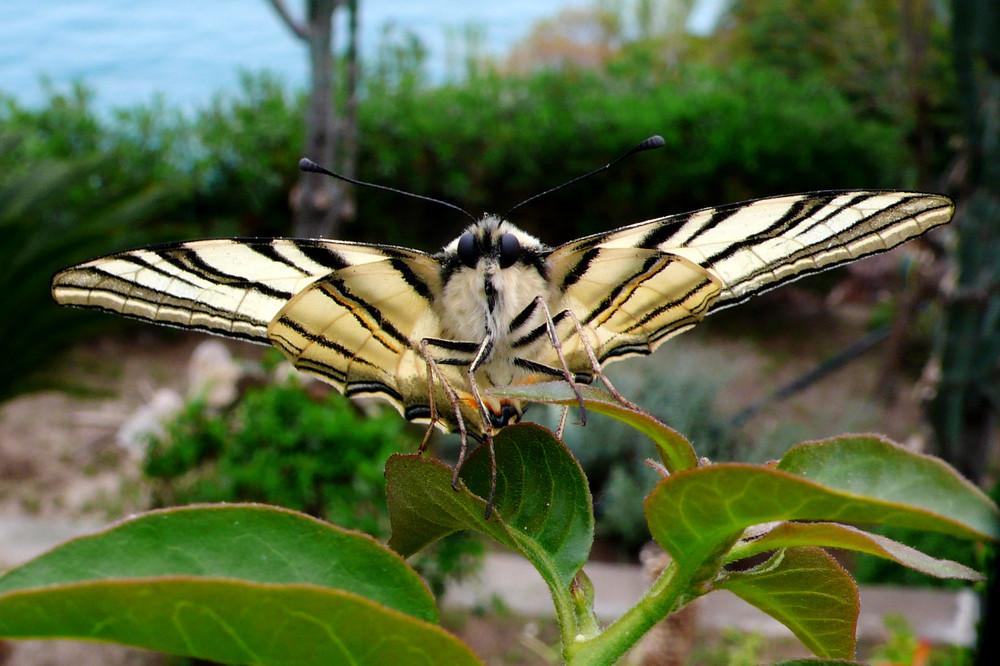 Farfalla solitaria