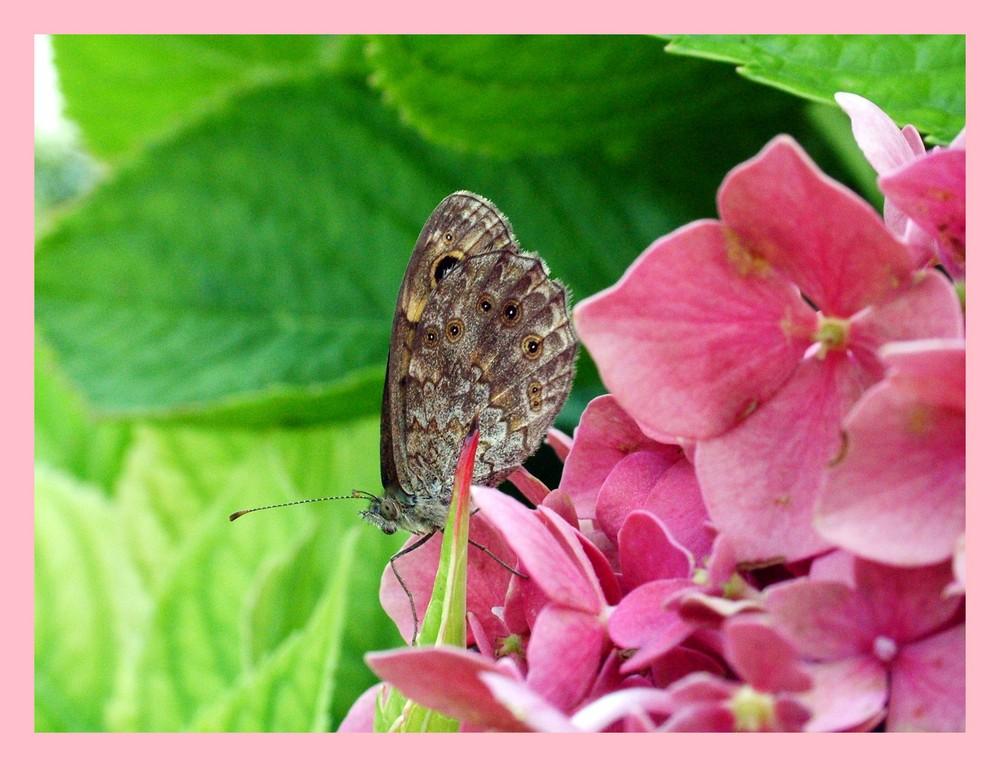 Farfalla su ortensia. Foto % Immagini  macro e close up, macro di ...